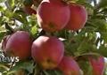 برداشت سیب از ۵۷۰۰ هکتارباغات دماوند