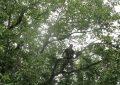 ۲۰ تن گردو از باغهای رضوانشهر برداشت شد