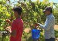برداشت میوه های ارگانیک در فیروزکوه